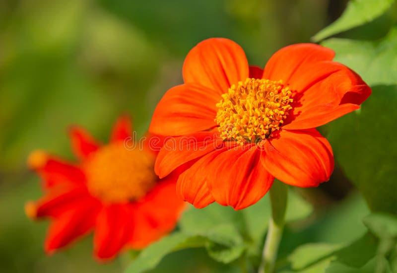 开花在庭院里的墨西哥向日葵 免版税库存照片