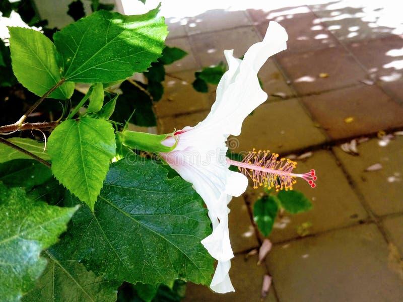 开花在庭院里的新鲜的雪白木槿花 o ?? 图库摄影