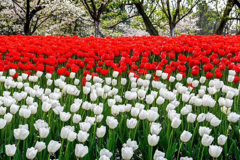 开花在庭院里的春天风景五颜六色的新鲜的郁金香在杭州,中国 免版税库存图片