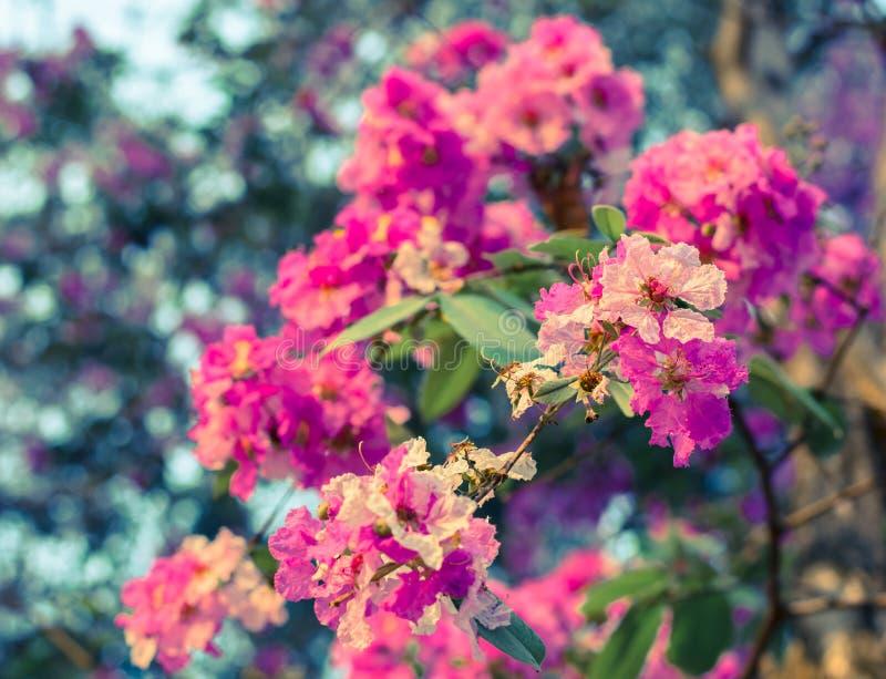 开花在庭院里的桃红色卡南加油odorata花 库存图片