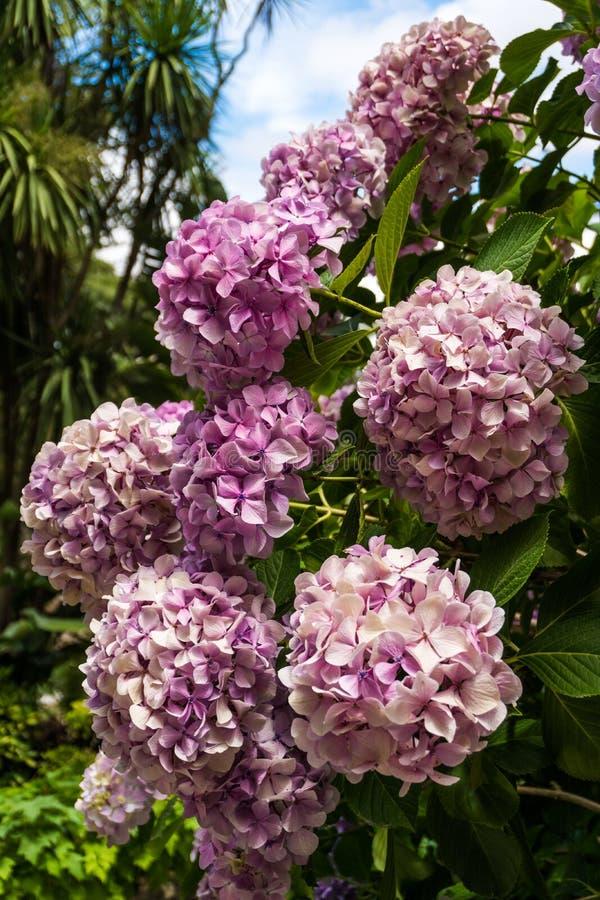 开花在庭院里的桃红色花八仙花属伟大的灌木  库存图片