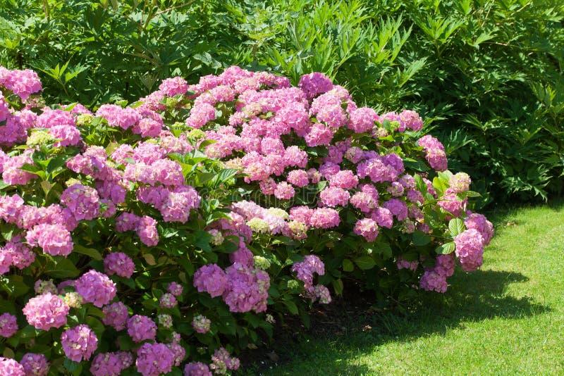 开花在庭院里的桃红色花八仙花属伟大的灌木  免版税库存照片