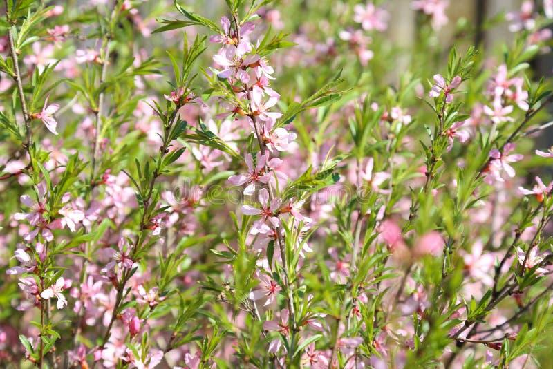 开花在庭院里的桃红色花八仙花属伟大的灌木  库存照片