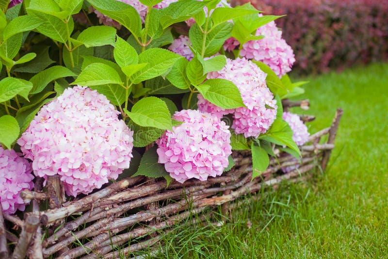 开花在庭院里的桃红色花八仙花属的布什 免版税库存图片
