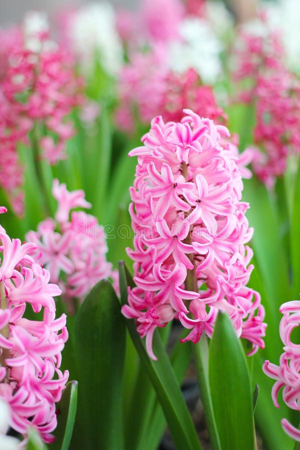 开花在庭院里的桃红色风信花花 图库摄影