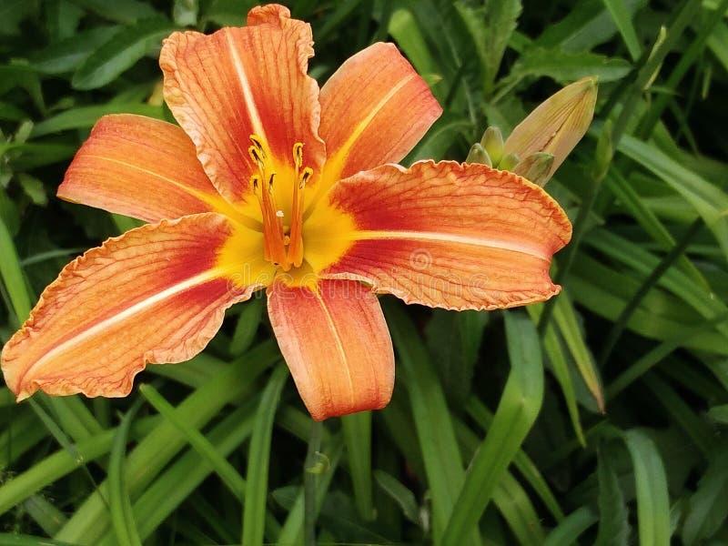 开花在庭院里的百合 库存照片
