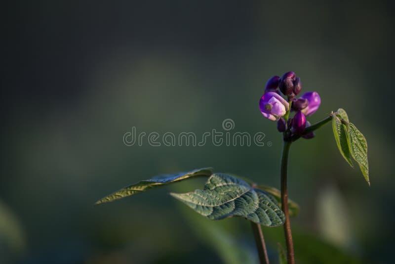 开花在庭院里的紫罗兰色绿豆 扁豆,与花的菜豆 库存照片