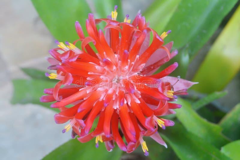 开花在庭院里的红色bromeliad花 免版税库存图片