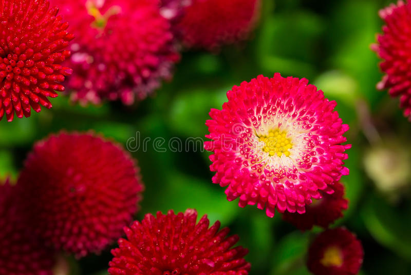 开花在庭院里的美丽的延命菊雏菊花 库存照片