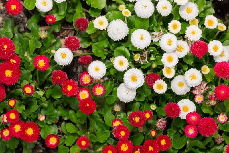 开花在庭院里的美丽的延命菊雏菊花 图库摄影