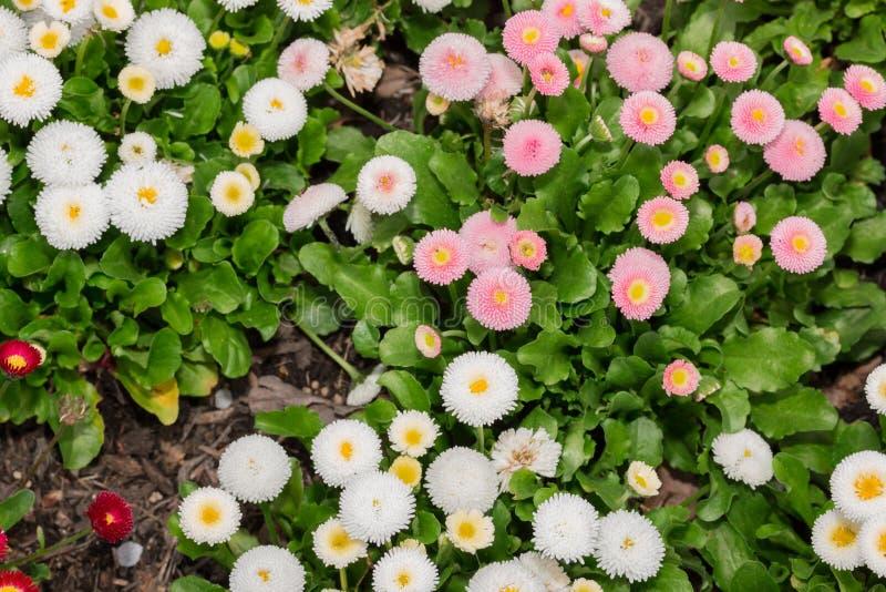 开花在庭院里的美丽的延命菊雏菊花 免版税库存照片