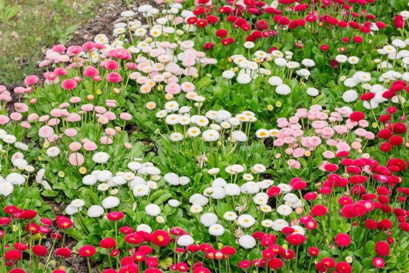 开花在庭院里的美丽的延命菊雏菊花 库存图片