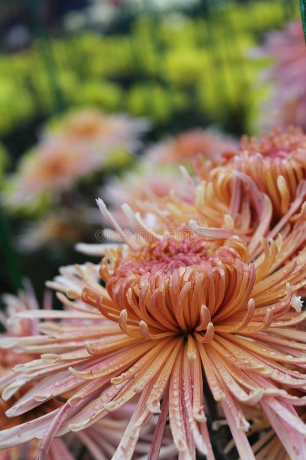 开花在庭院里的菊花开花 美好的菊花花关闭作为背景 免版税库存照片
