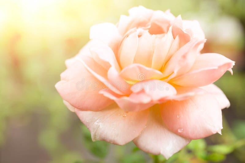 开花在庭院里的被弄脏的概念玫瑰色花 免版税库存图片
