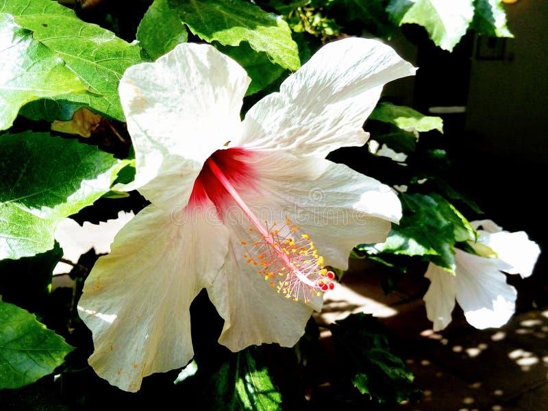 开花在庭院里的软的白色木槿花 ?? 库存照片