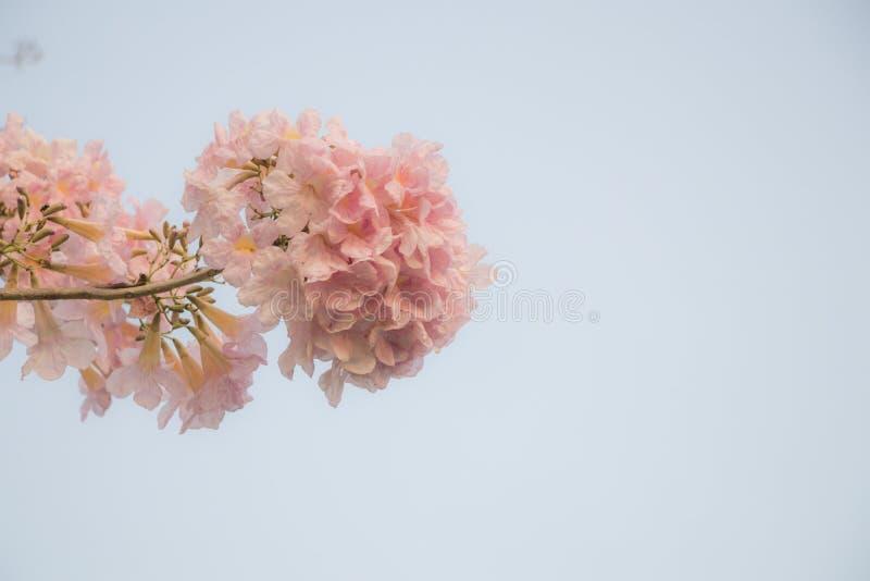 开花在庭院里的选择聚焦美丽的Tabebuia Rosea花 并且叫Pink南贝河,桃红色Tecoma和玫瑰色喇叭树 关闭 图库摄影