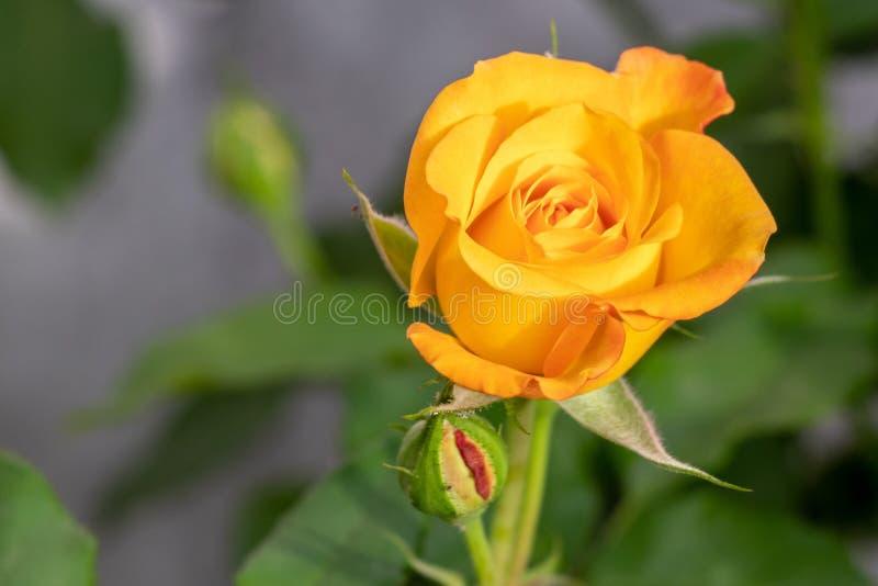 开花在庭院里的黄色玫瑰 库存照片