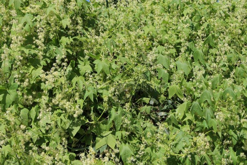 开花在庭院里的echinocystis厚实的丛林  叶子墙壁 库存照片