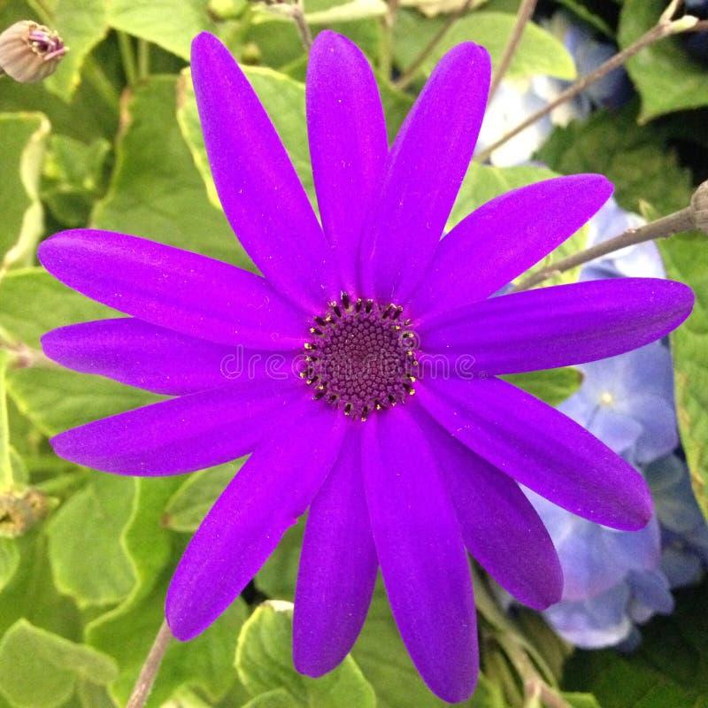 开花在庭院里的Osteospermum (非洲雏菊)花 免版税库存照片