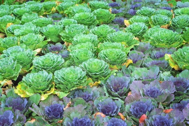 开花在庭院,五颜六色的园林植物小组里的绿色和紫色圆白菜 库存照片
