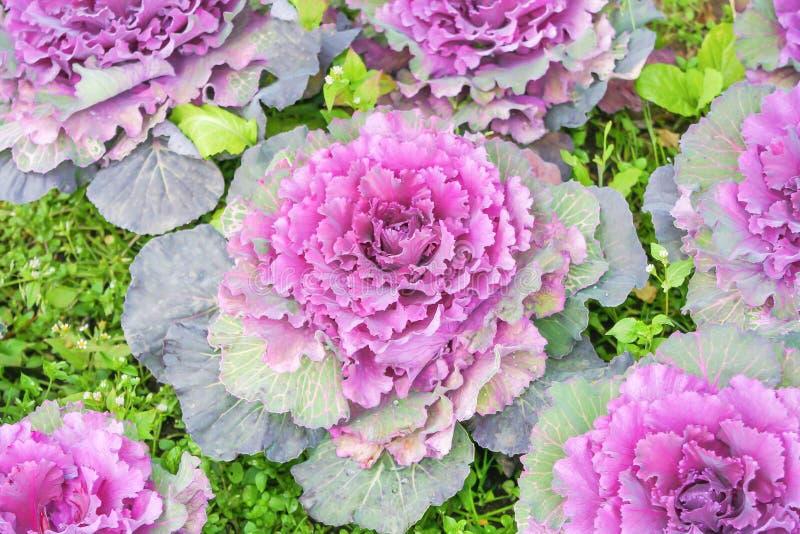开花在庭院,在背景的自然装饰菜样式里的紫色圆白菜或芸苔 免版税库存照片
