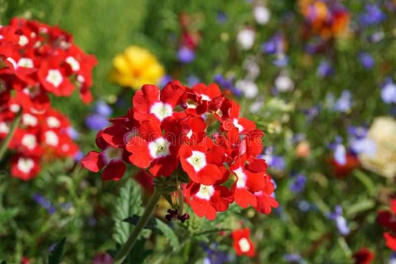 开花在庭院,花地毯里的红色花 图库摄影