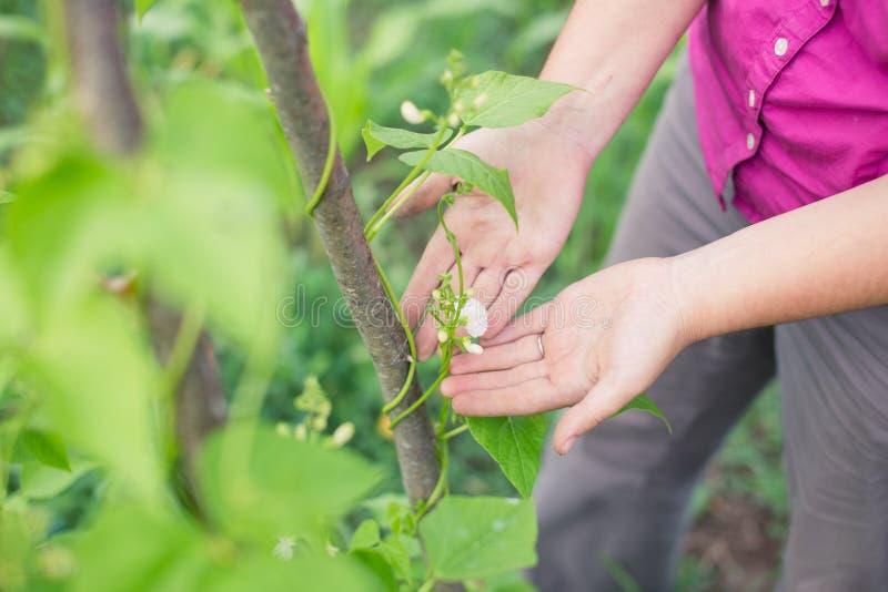 开花在攀缘茎类的豆植物在庭院里 库存照片