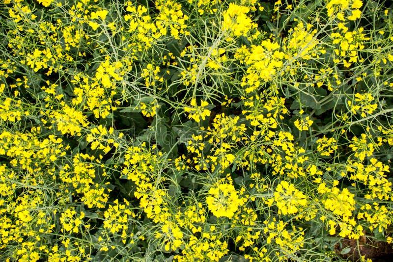 开花在收获前的芥末领域 图库摄影