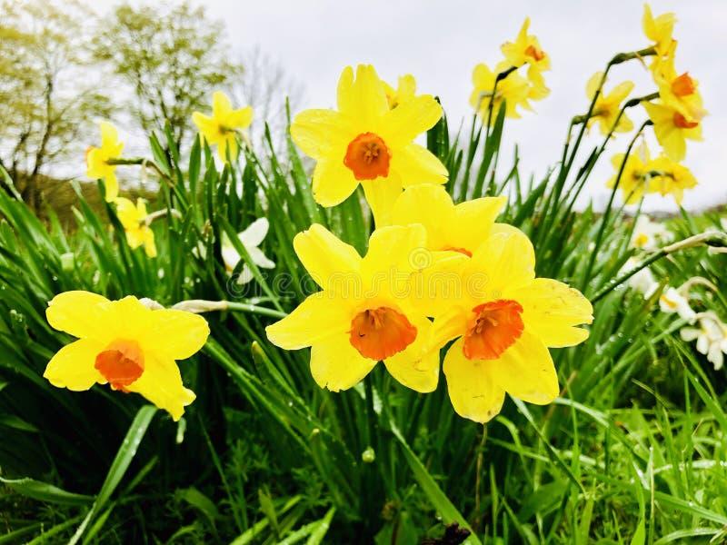 开花在早期的春天的黄色黄水仙花 免版税库存图片