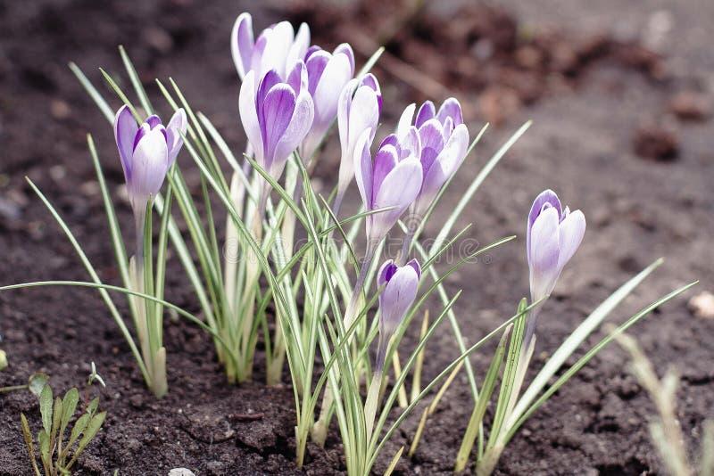 开花在早期的春天的紫色番红花 库存照片