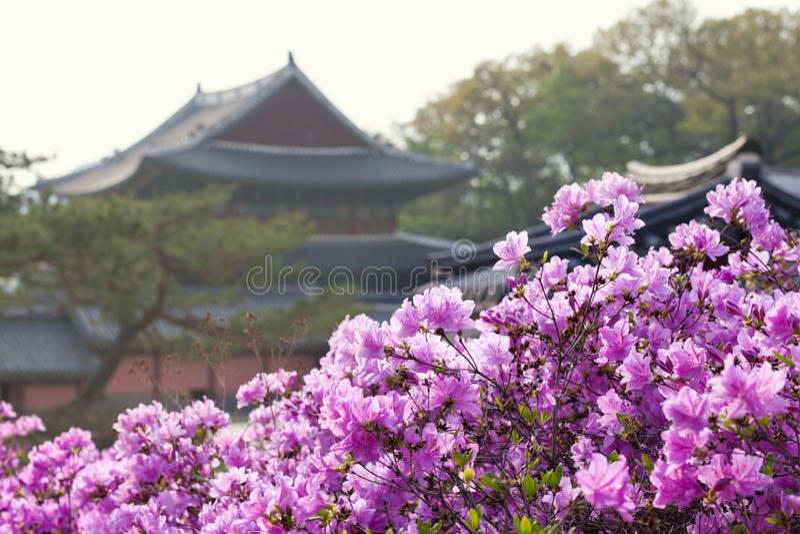 Download 开花在昌德宫宫殿的杜鹃花在汉城,韩国 库存照片. 图片 包括有 文化, 地标, 传统, 杉木, 绽放, 杜鹃花 - 59105224