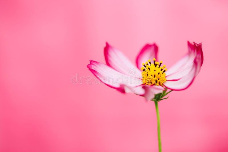 """开花在春天和夏天期间的浅红色的紫色和桃红色野花""""Wild波斯菊Flower†波斯菊bipinnatus 库存图片"""