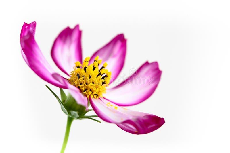 """开花在春天和夏天特写镜头期间的唯一紫色桃红色野花""""Wild波斯菊Flower†波斯菊bipinnatus宏指令细节 免版税库存图片"""
