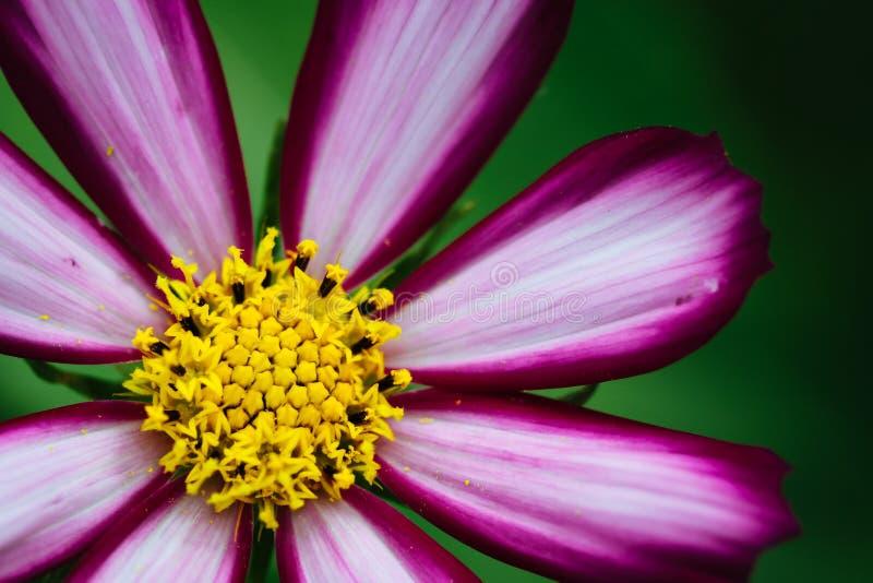 """开花在春天和夏天特写镜头期间的紫色,白色,生动的桃红色野花""""Wild波斯菊Flower†波斯菊bipinnatus宏指令 库存照片"""