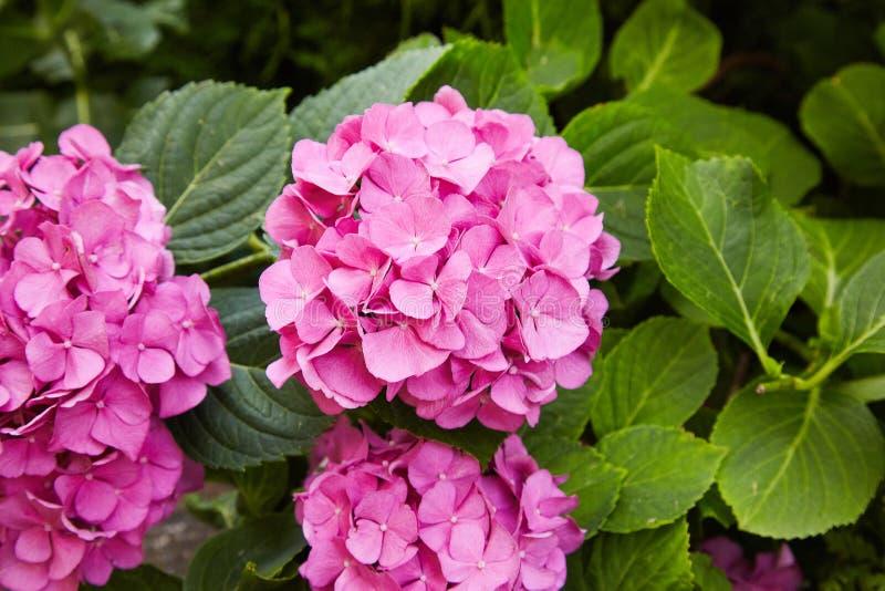 开花在春天和夏天的桃红色八仙花属花八仙花属macrophylla在加尔德角 免版税库存照片