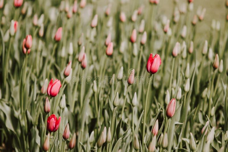 开花在春天庭院里的红色郁金香花的被过滤的图象 免版税图库摄影