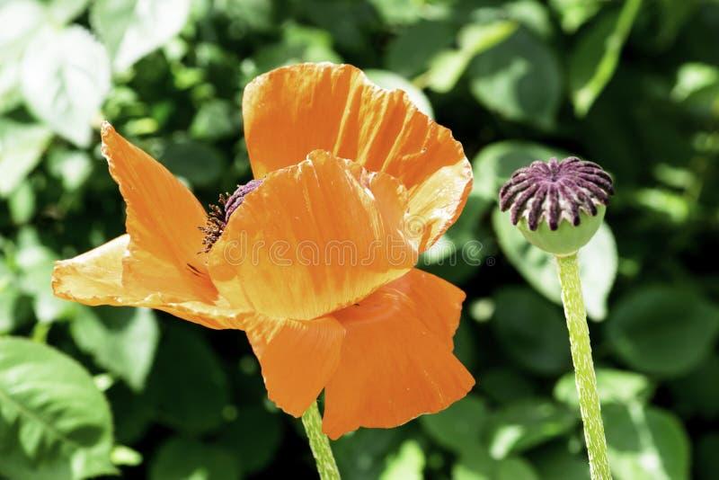 开花在春天庭院里的红色鸦片花 库存照片