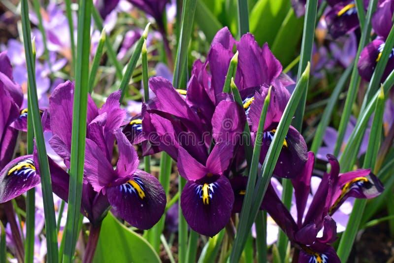 开花在春天的五颜六色的虹膜在著名荷兰郁金香公园 采取在库肯霍夫,荷兰 免版税图库摄影