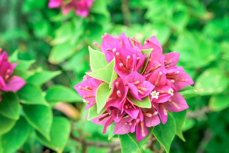 开花在春天的墨水九重葛 免版税库存图片