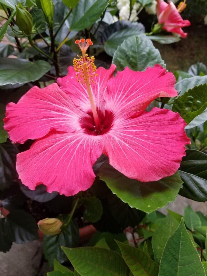 开花在春天的桃红色兰花 图库摄影