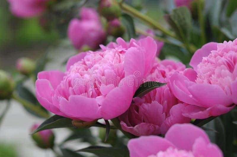 开花在春天的桃红色牡丹花 图库摄影