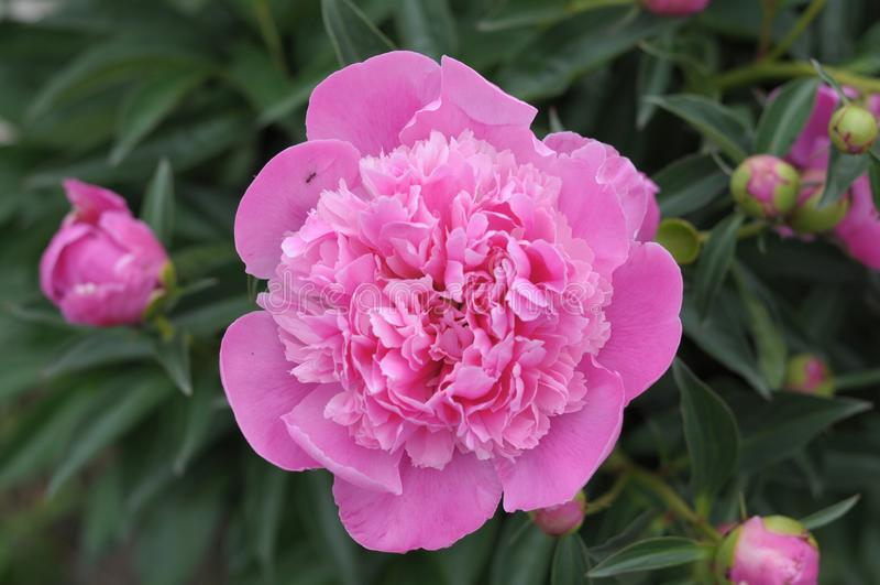 开花在春天的桃红色牡丹花 免版税库存照片