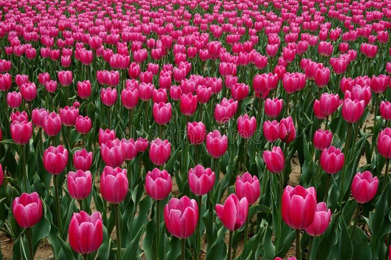开花在春天的桃红色郁金香花 免版税库存图片