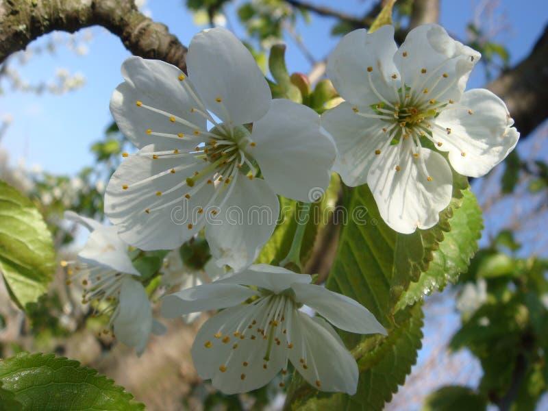 开花在春天的樱桃花与绿色叶子,自然花卉季节性背景 免版税库存图片