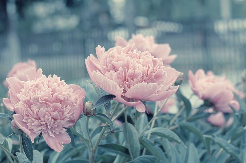 开花在春天的淡紫色牡丹花被定调子 库存照片