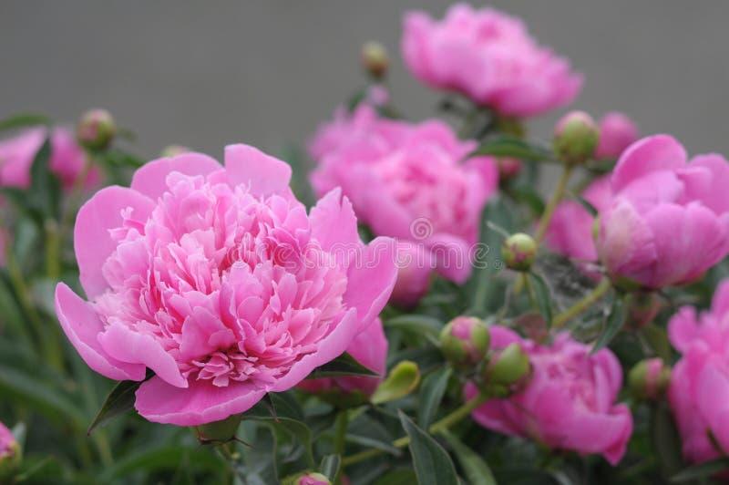 开花在春天的淡紫色牡丹花 库存图片