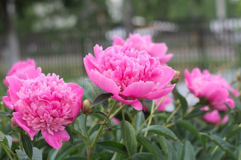开花在春天的淡紫色牡丹花 库存照片