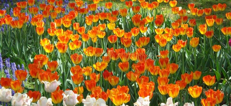 开花在春天的火热的郁金香花园 库存图片