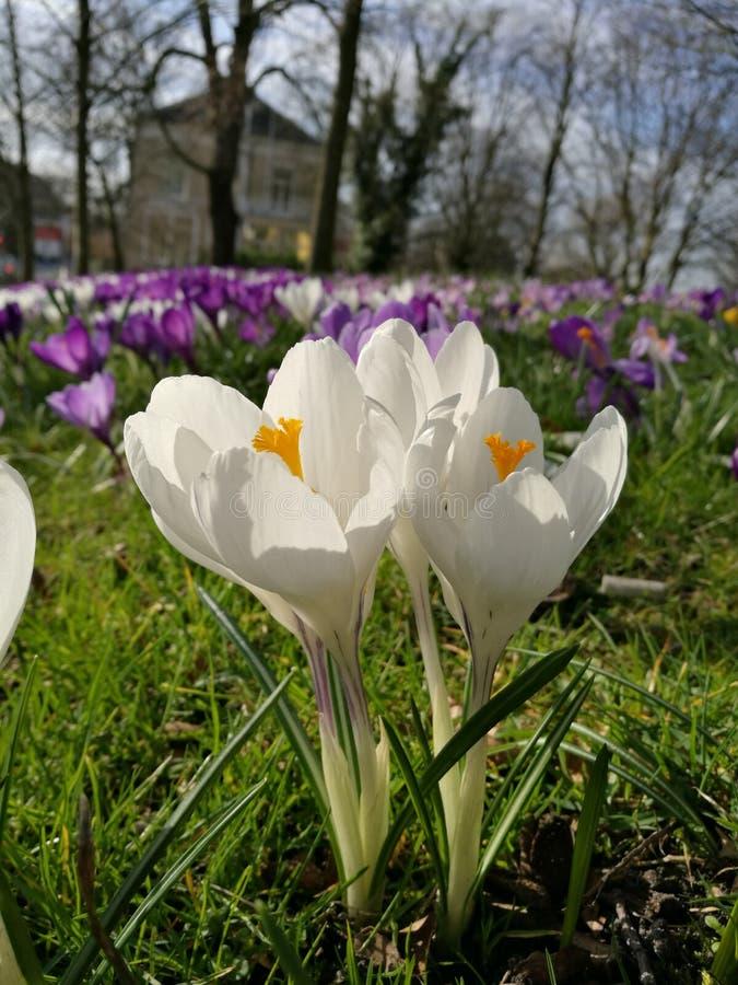 开花在春天的白色和黄色黄水仙有草背景 库存照片