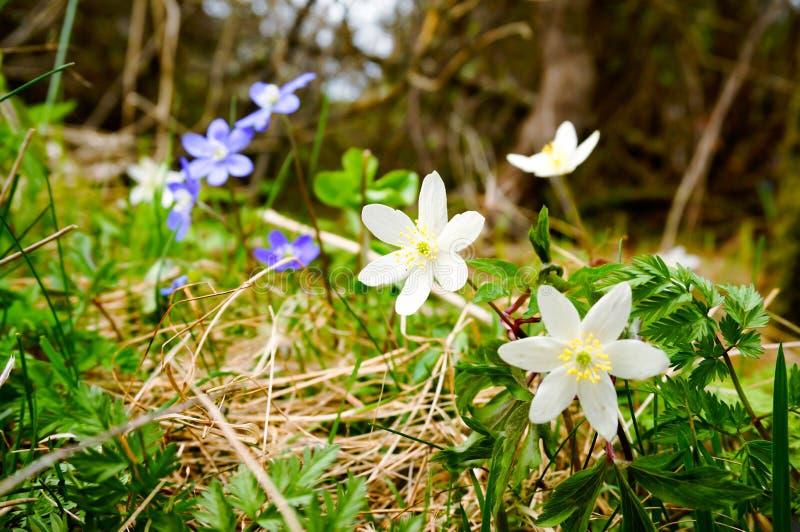 开花在春天的白色和紫色银莲花属 免版税库存照片